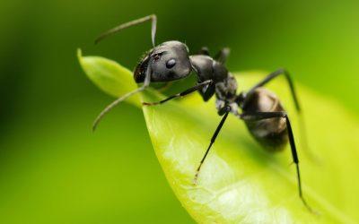 Como afastar as formigas?