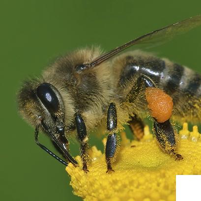 Sobre as Abelhas, vespas e marimbondos