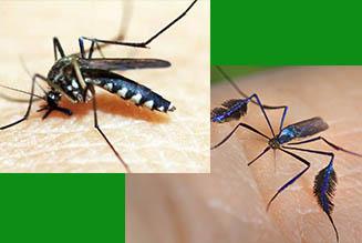 mosquito haemagogus