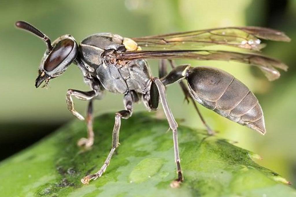 Paulistinha (Polybia paulista)