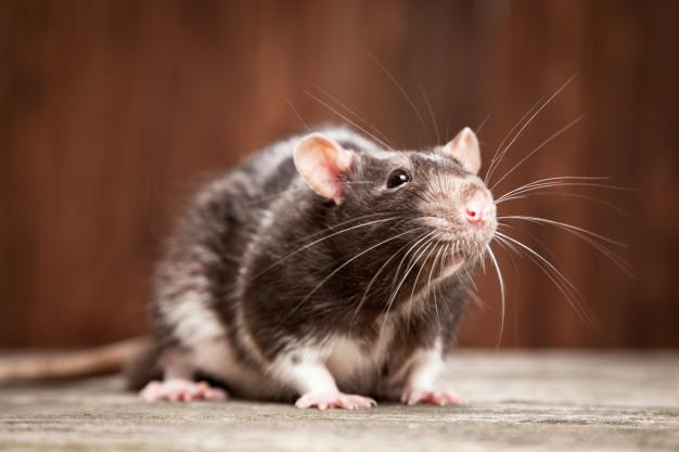 Desratização - Controle de Ratos