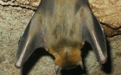 Como funciona o Controle de Morcegos?
