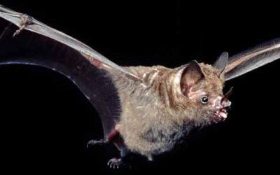 Controle de morcegos em áreas residenciais