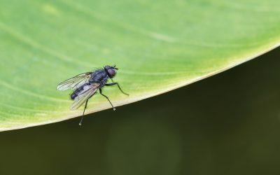 Como acabar com uma infestação de moscas?