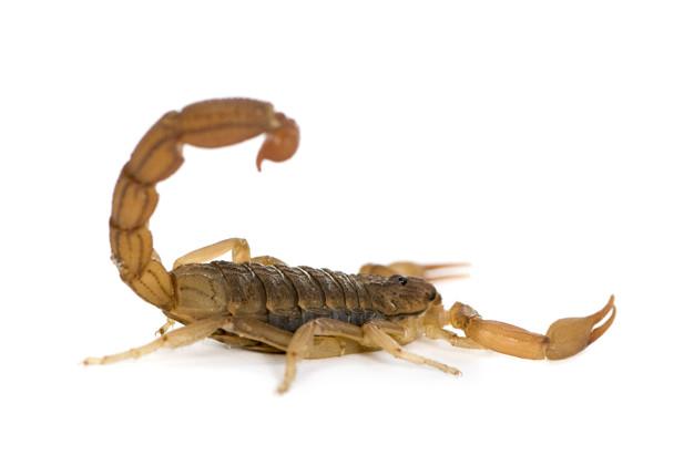 Escorpiões do Brasil