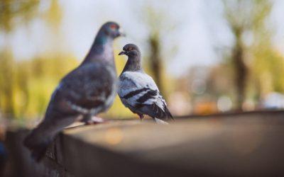 Como Espantar os Pombos da Área da minha Empresa?