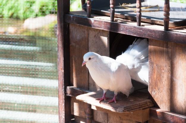 Controle de Pombos Como é Realizado o Serviço