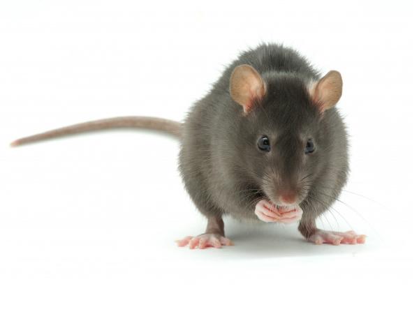 Desratização e Controle de Ratos