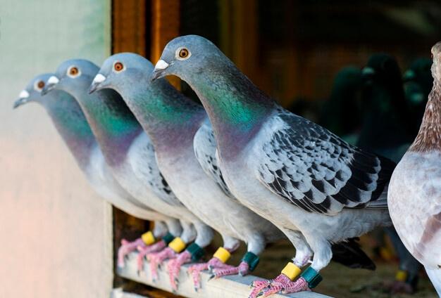 Dedetização e ou Manejo de pombos