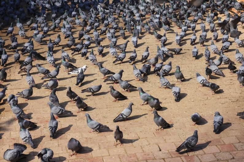 Procurando uma empresa de controle de pombos em São Paulo?