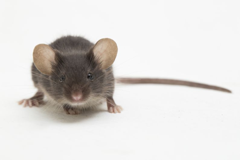 Como afastar os ratos? Dedetização de Ratos
